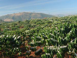 Kaffee Anbau und Botanik